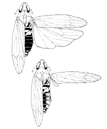 Prokelisia marginata drawing.png