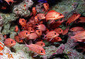 200px-School of reef fish at Rapture Reef, French Frigate Shoals.jpg